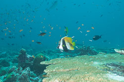 BD-150424-Maldives-8053-Heniochus-monoceros.-Cuvier.-1831-[Masked-bannerfish].jpg